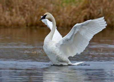 Trumpeter Swan (Cygnus buccinator) ©WikiC naturespicsonline