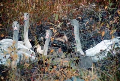 Trumpeter Swan (Cygnus buccinator) cygnets ©USFWS