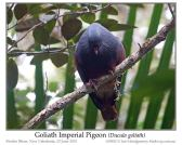 Goliath Imperial Pigeon (Ducula goliath) by Ian