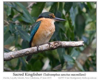 Sacred Kingfisher (Todiramphus sanctus) by Ian