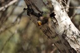 Verdin (Auriparus flaviceps) by Dan