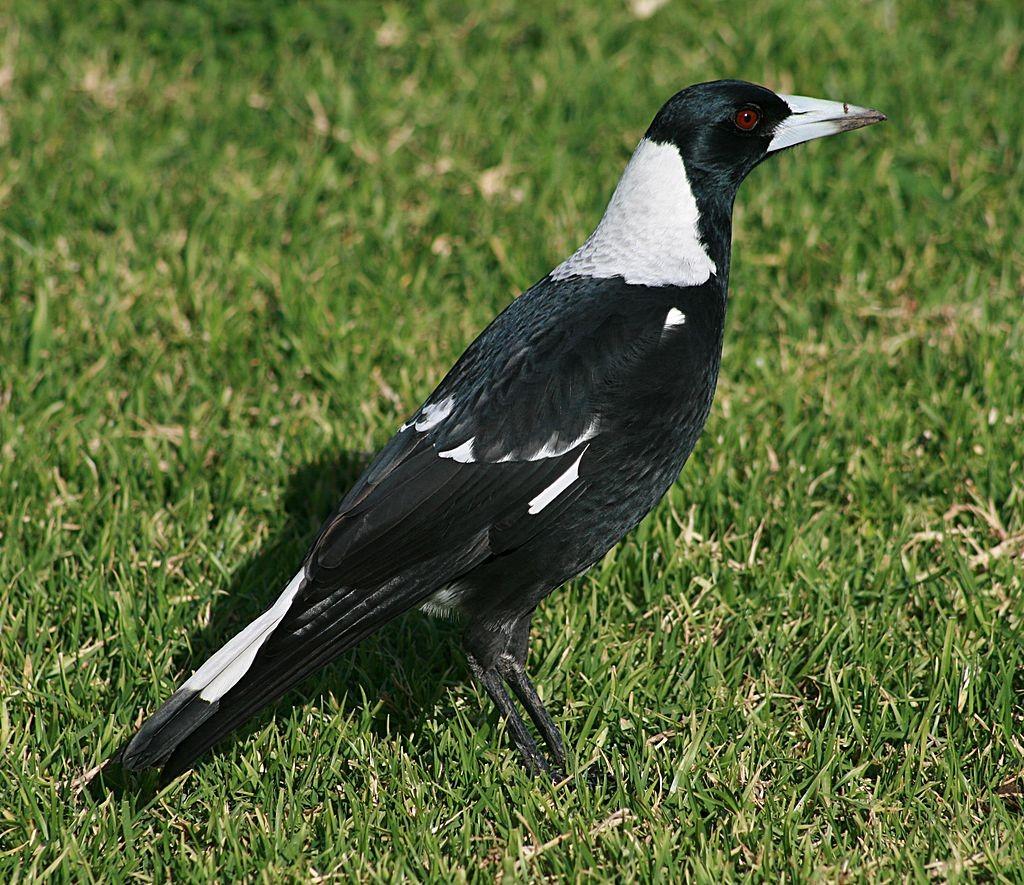 Australia Magpie ©WikiC