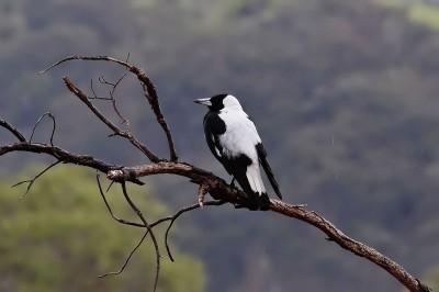 Australia Magpie on Dead Branch ©WikiC
