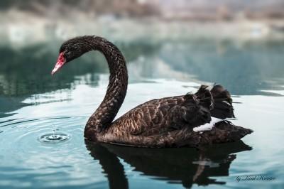 Black Swan ©WikiC