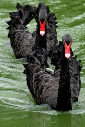 Black Swan (Cygnus atratus) with Cygnets ©Broadmoor
