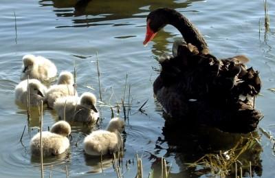 Black Swan (Cygnus atratus) with Cygnets ©WashPost