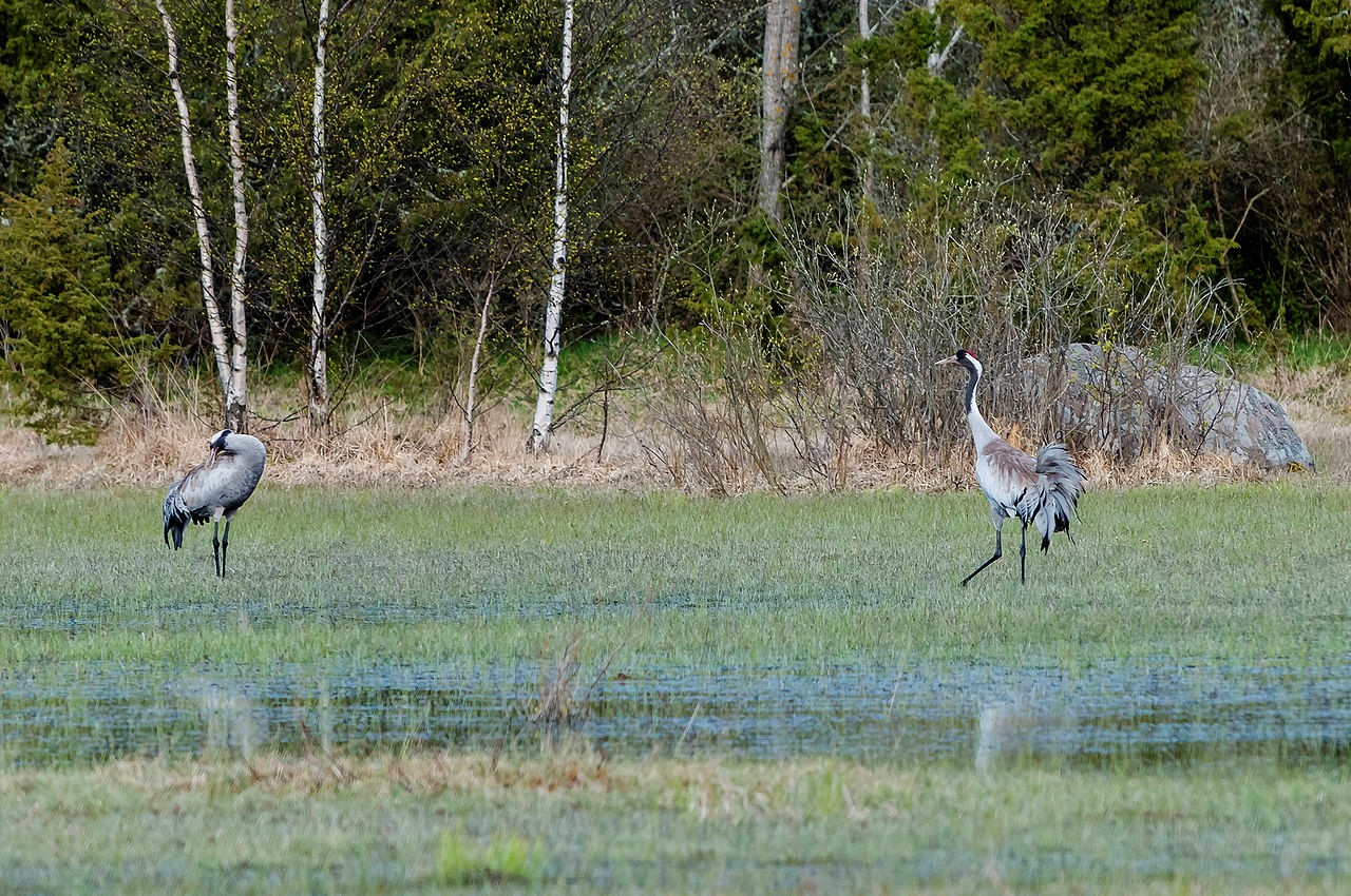Common Crane in Estonia ©WikiC