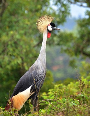 Grey Crowned Crane ©WikiC