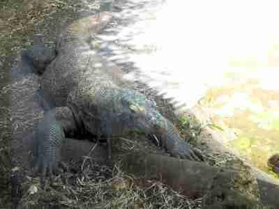 Kamodo Dragon Palm Beach Zoo by Lee