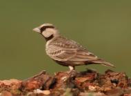 Ashy-crowned Sparrow-Lark (Eremopterix griseus) ©WikiC