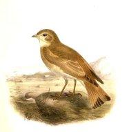 Bar-tailed Lark (Ammomanes cinctura) ©WikiC