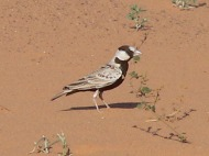 Black-crowned Sparrow-Lark (Eremopterix nigriceps) ©WikiC