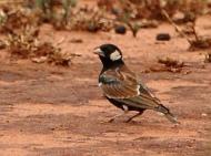 Chestnut-backed Sparrow-Lark (Eremopterix leucotis) ©WikiC