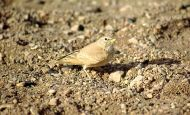 Desert Lark (Ammomanes deserti) ©WikiC
