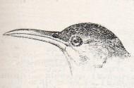 Dupont's Lark (Chersophilus duponti) ©Drawing WikiC