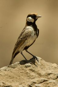 Fischer's Sparrow-Lark (Eremopterix leucopareia) ©WikiC