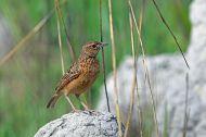 Flappet Lark (Mirafra rufocinnamomea) ©WikiC