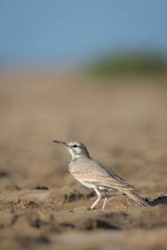 Greater Hoopoe-Lark (Alaemon alaudipes) ©WikiC