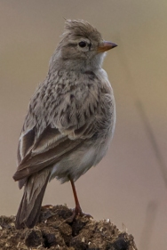 Hume's Short-toed Lark (Calandrella acutirostris) ©WikiC