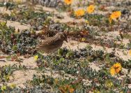 Lesser Short-toed Lark (Alaudala rufescens) ©WikiC