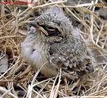Oriental Skylark (Alauda gulgula) chick
