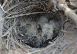 Raso Lark (Alauda razae) Chicks ©WikiC