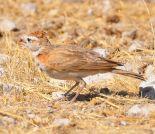 Red-capped Lark (Calandrella cinerea) ©WikiC