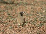 Thick-billed Lark (Ramphocoris clotbey) ©WikiC