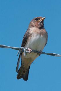 American Cliff Swallow (Petrochelidon pyrrhonota) ©WikiC