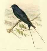 Blue Swallow (Hirundo atrocaerulea ©Drawing WikiC)