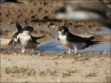 Common House Martin (Delichon urbicum) by Ian