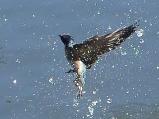 Pacific Swallow (Hirundo tahitica) ©WikiC