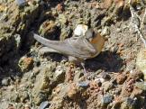 Rock Martin (Ptyonoprogne fuligula) by Ian