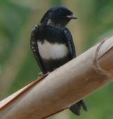 White-banded Swallow (Atticora fasciata) ©WikiC
