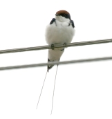 Wire-tailed Swallow (Hirundo smithii) ©WikiC