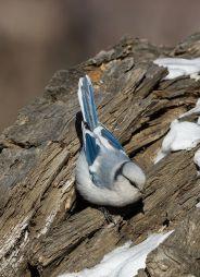 Azure Tit (Cyanistes cyanus) ©WikiC
