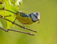 Eurasian Blue Tit (Cyanistes caeruleus) ©WikiC