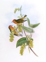Fire-capped Tit (Cephalopyrus flammiceps) ©Drawing WikiC