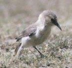 Ground Tit (Pseudopodoces humilis) ©WikiC