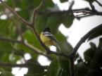 PAS-Pari Palawan Tit (Pardaliparus amabilis) ©WikiC