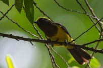 Sultan Tit (Melanochlora sultanea) ©WikiC