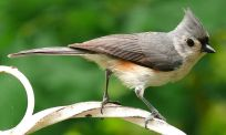 Tufted Titmouse (Baeolophus bicolor) ©WikiC