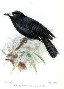 White-fronted Tit (Parus semilarvatus) ©Drawing WikiC