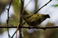 Yellow-browed Tit (Sylviparus modestus) ©WikiC