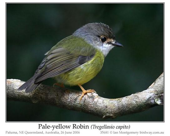 Pale-yellow Robin (Tregellasia capito) by Ian