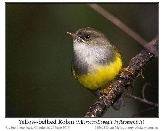 Yellow-bellied Flyrobin (Microeca or Eopsaltria flaviventis) by Ian