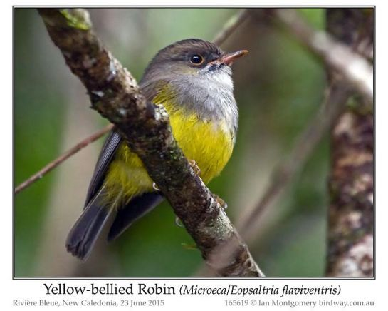 Yellow-bellied Flyrobin (Microeca or Eopsaltria flaviventis) by Ian