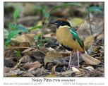 Noisy Pitta (Pitta versicolor) by Ian