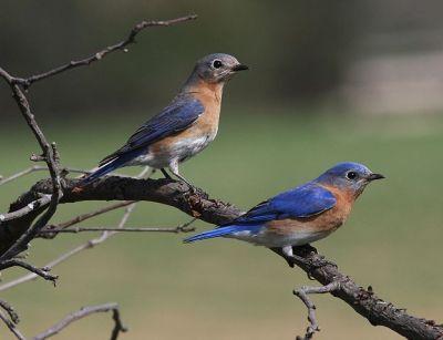 Eastern Bluebird (Sialia sialis) ©WikiC