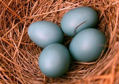 Eastern Bluebird (Sialia sialis) Eggs ©WikiC